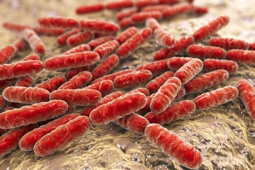 Flora bacteriana del intestino