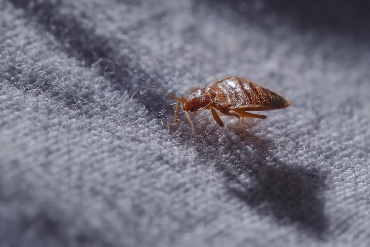 """¿Cómo diferenciar picaduras de pulgas, de chinches y de mosquitos"""""""