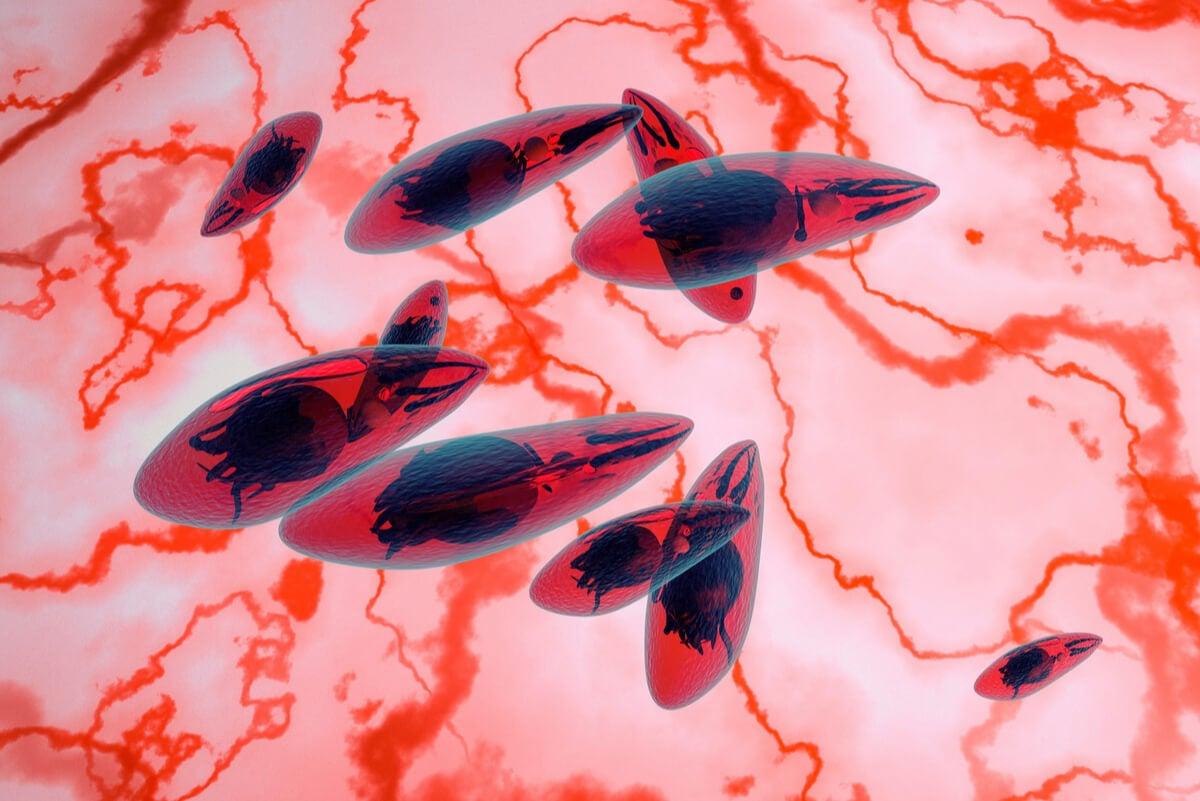 Toxoplasma gondii al microscopio