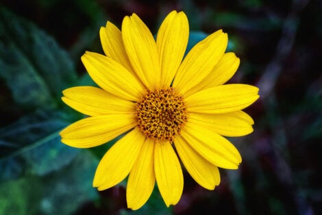 Flor de árnica montana.