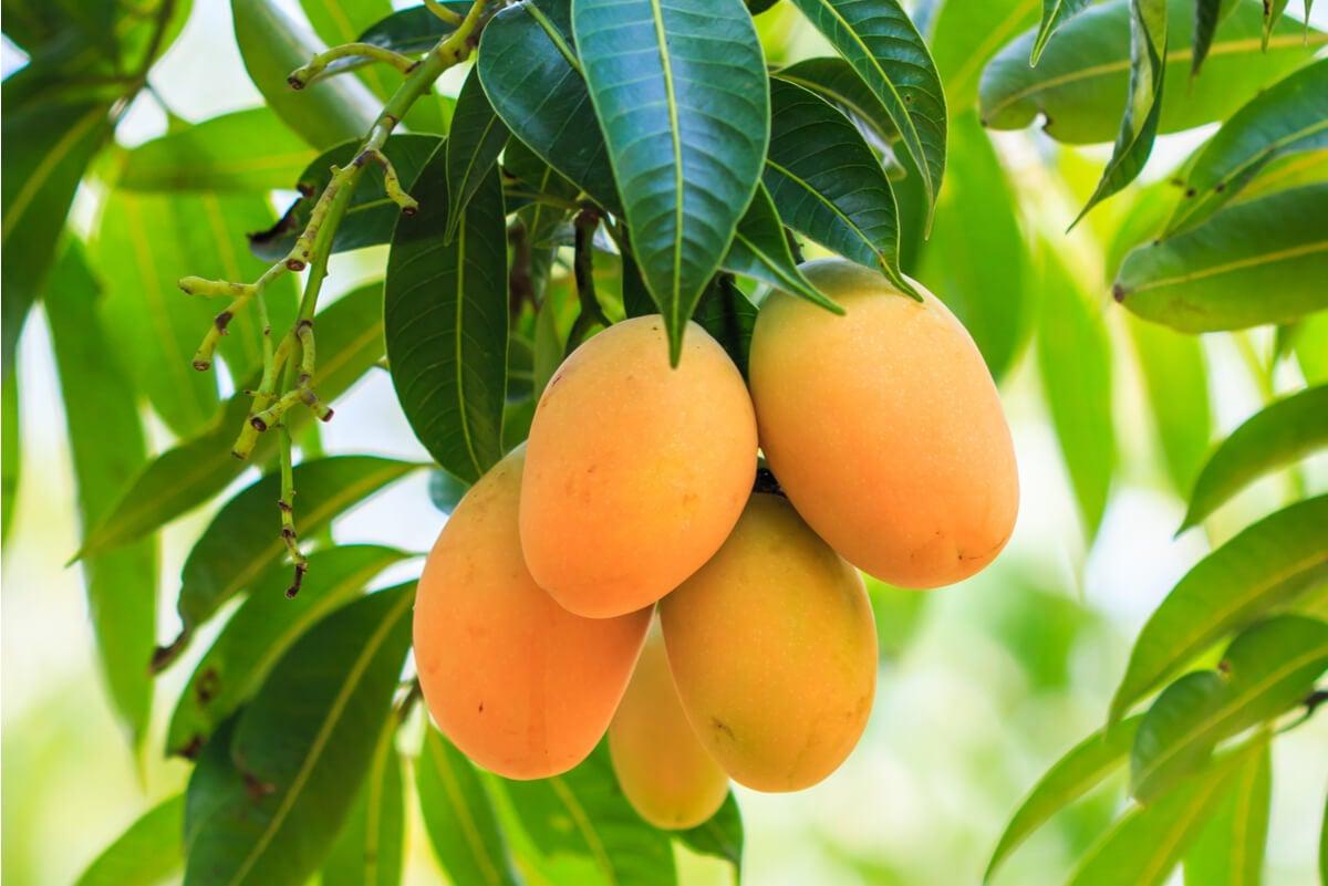 Fruto del mango.
