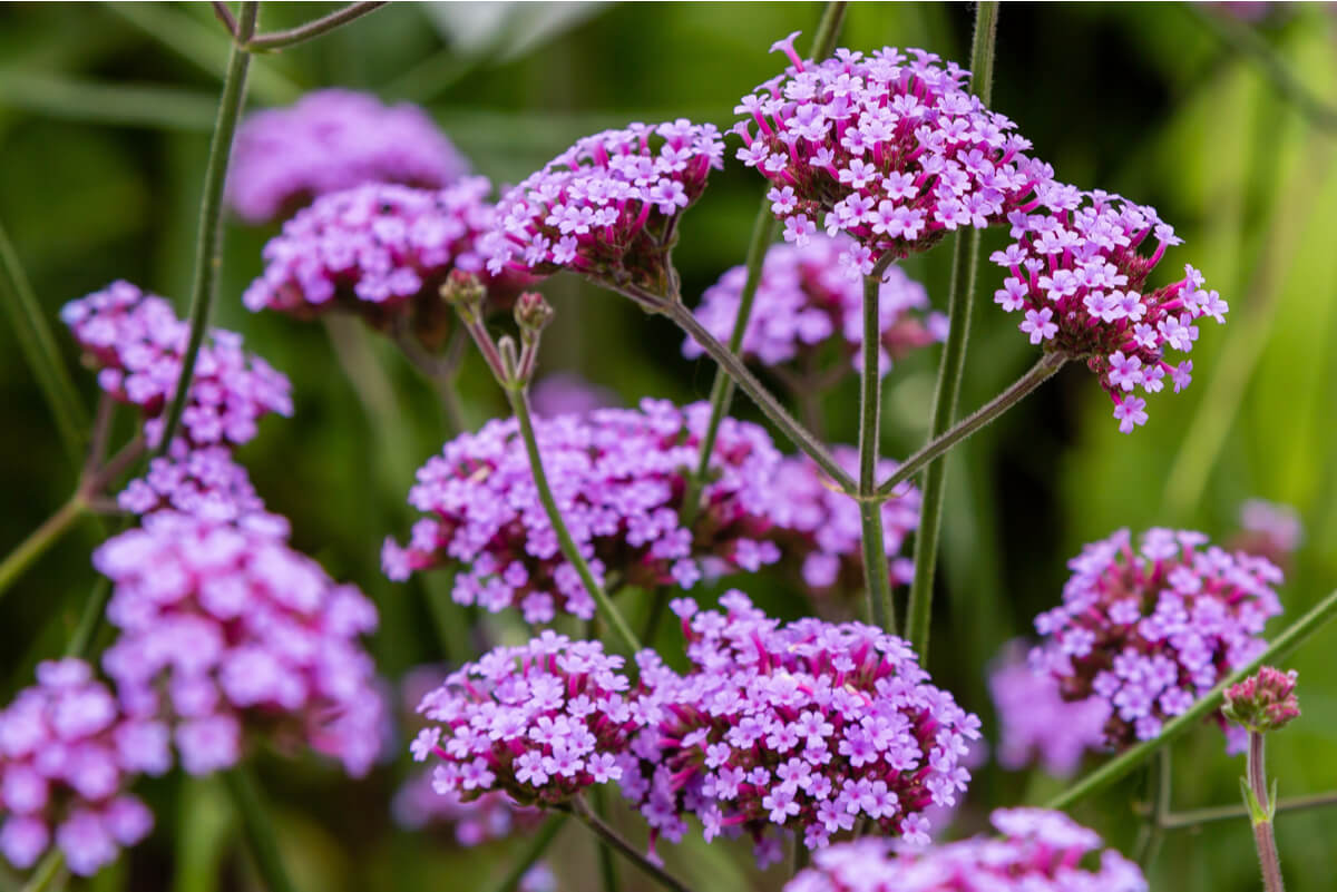 Flor de la verbena.