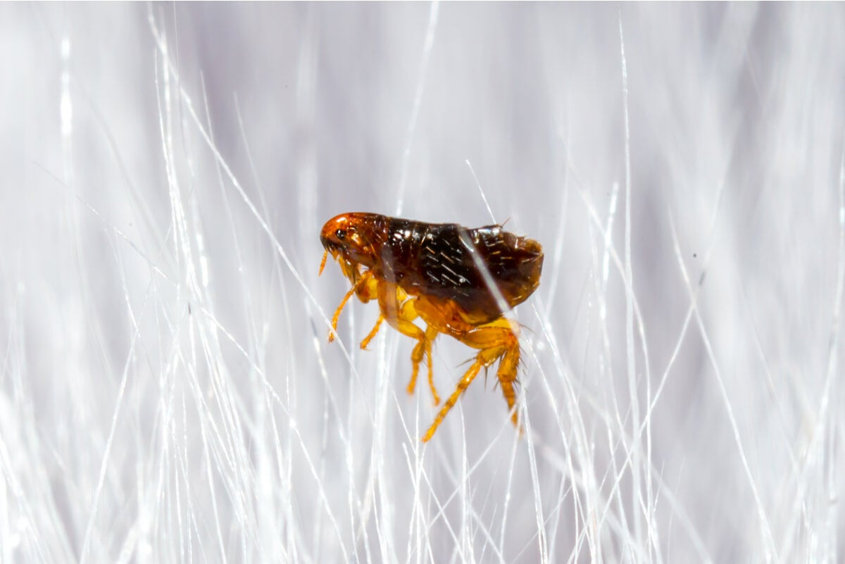 """¿Cómo son y cuánto duran las picaduras de pulga"""""""