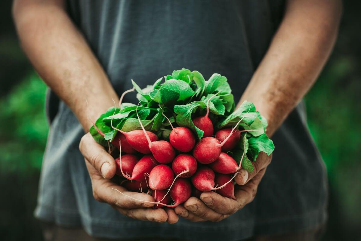 Hombre cultiva rábanos.