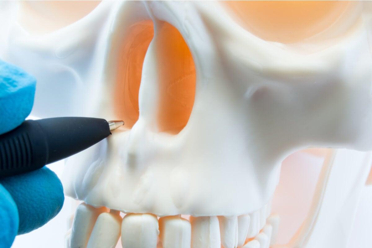 Tabique nasal en el cráneo.