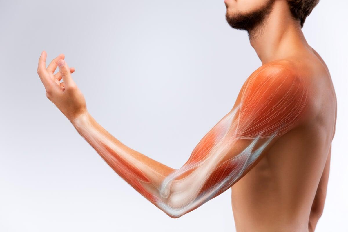 Tejido muscular del ser humano.