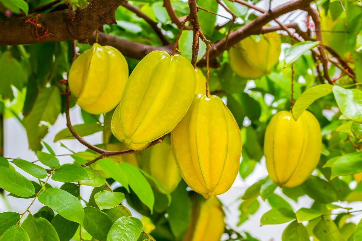 Fruta carambola en el árbol.