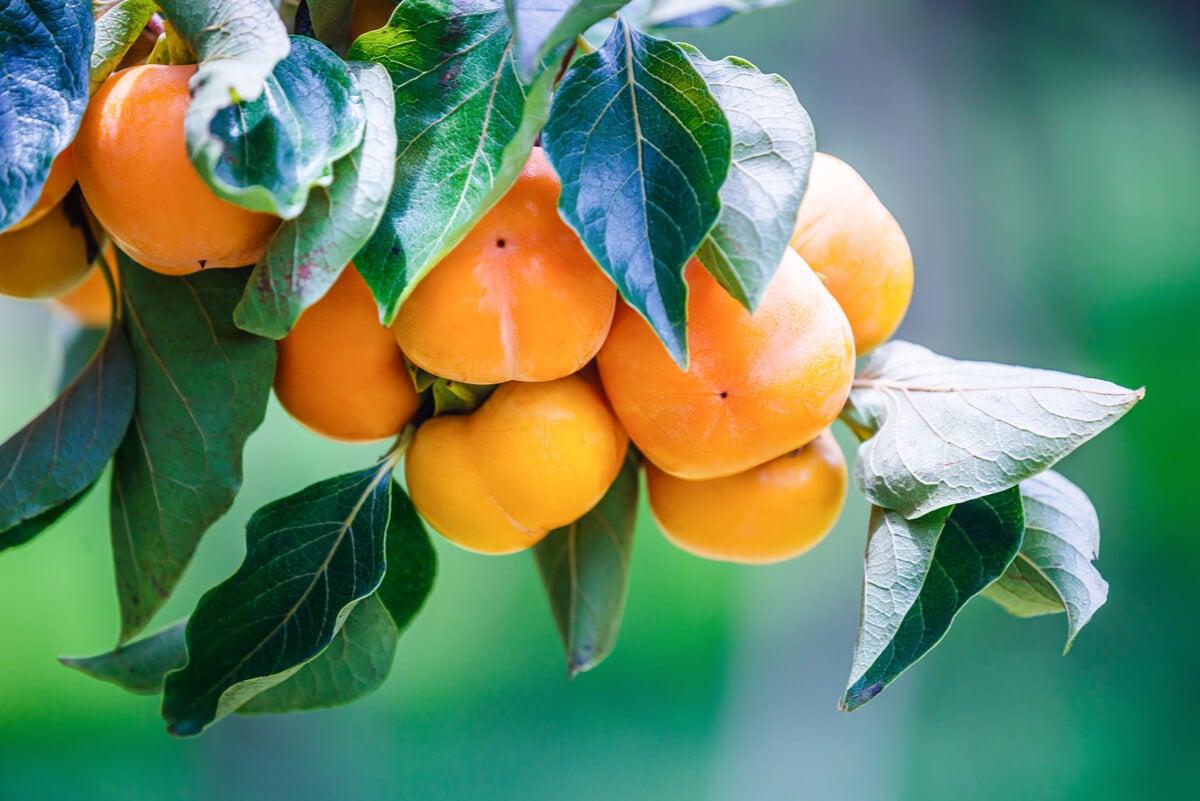 Fruto persimón en árbol.