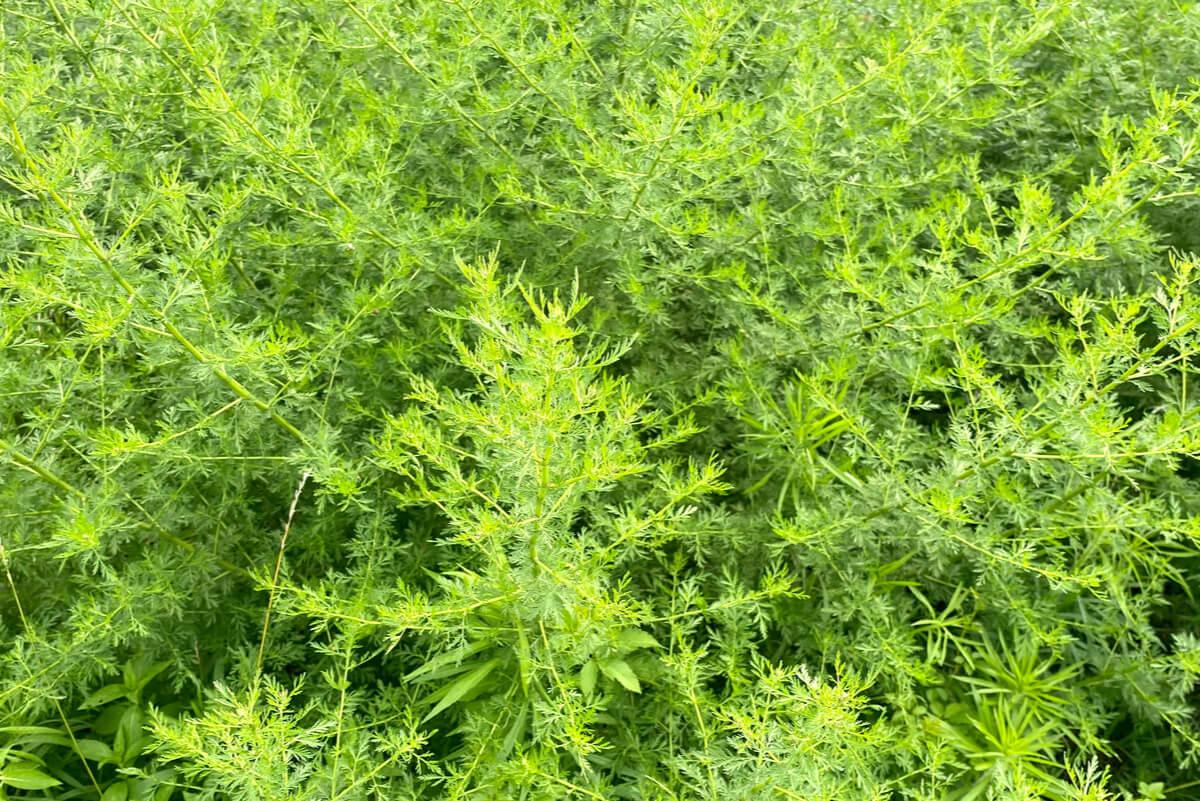 Campo plantado con artemisa dulce.