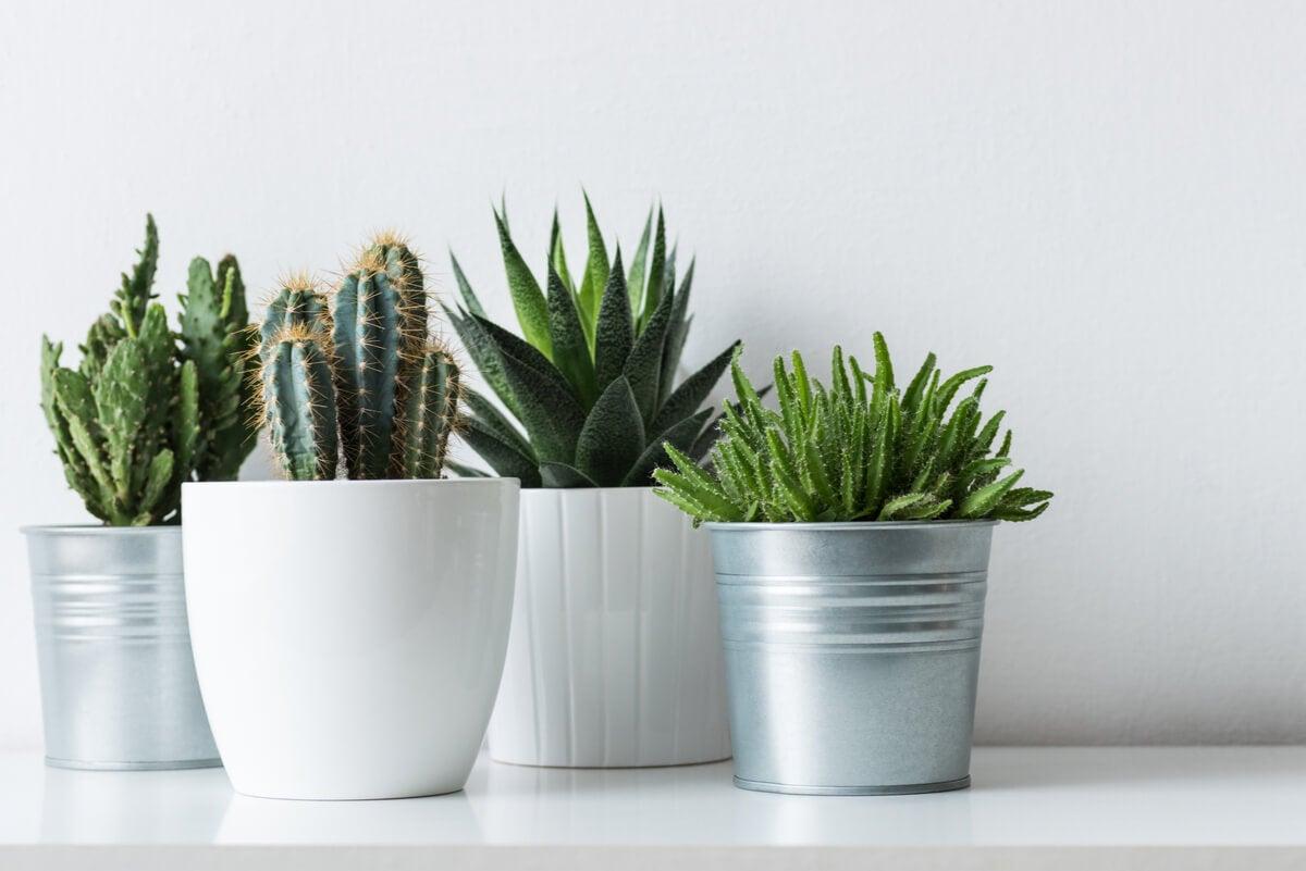 Cactus en macetas.