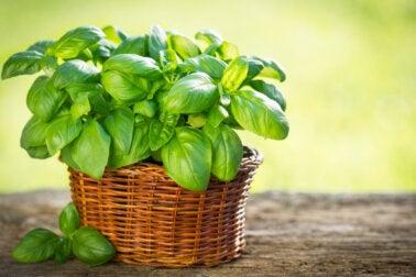 Tipos de albahaca que puedes cultivar en tu jardín