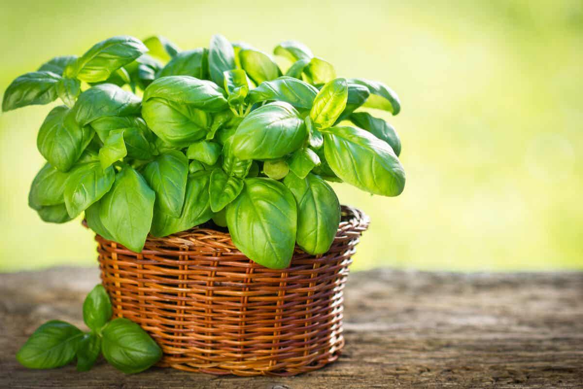 Tipos de albahaca que puedes cultivar en tu jardín.
