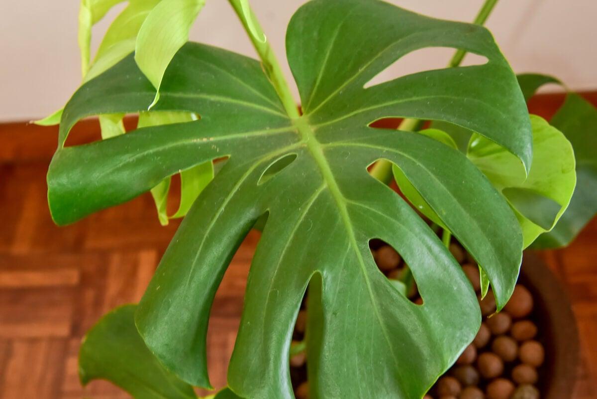 Planta resistente costilla de Adán.