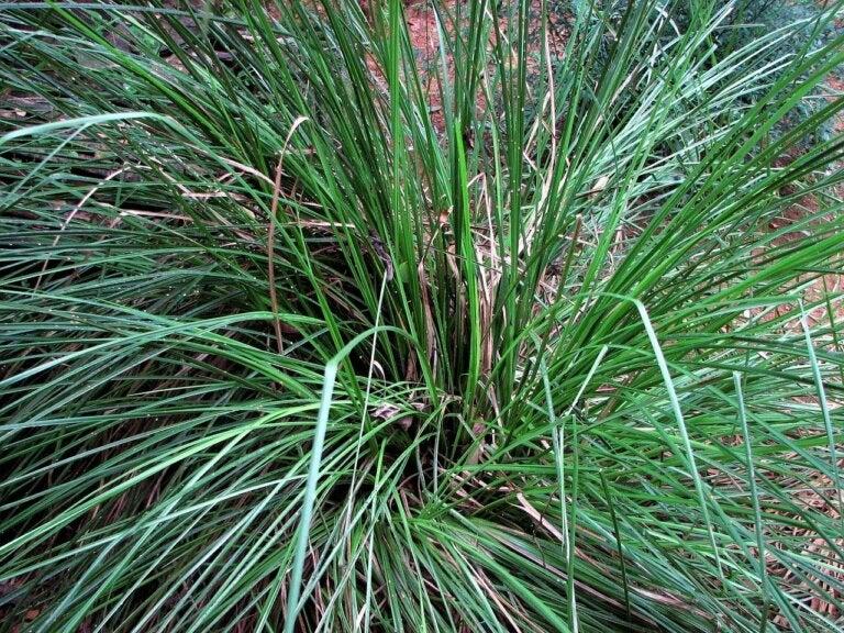Aceite esencial de vetiver: propiedades, usos y beneficios
