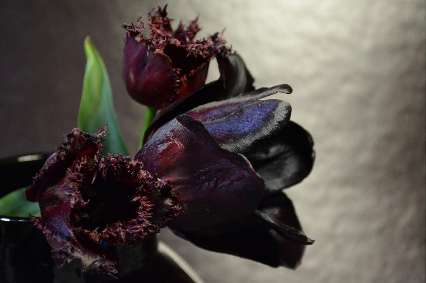 Tulipán queen of night