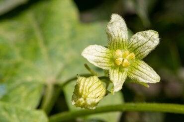 ¿Qué es la Bryonia alba y cuáles son sus usos?