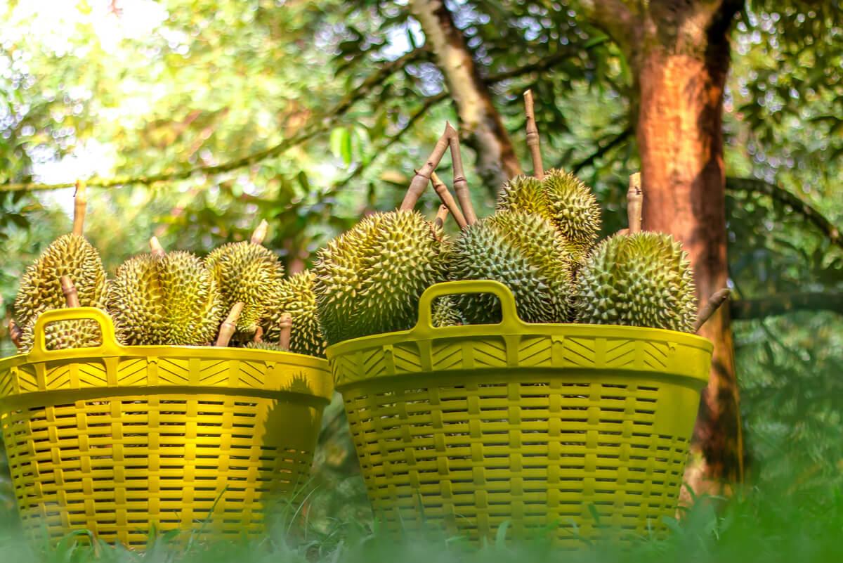 Durian debe consumirse rápido.