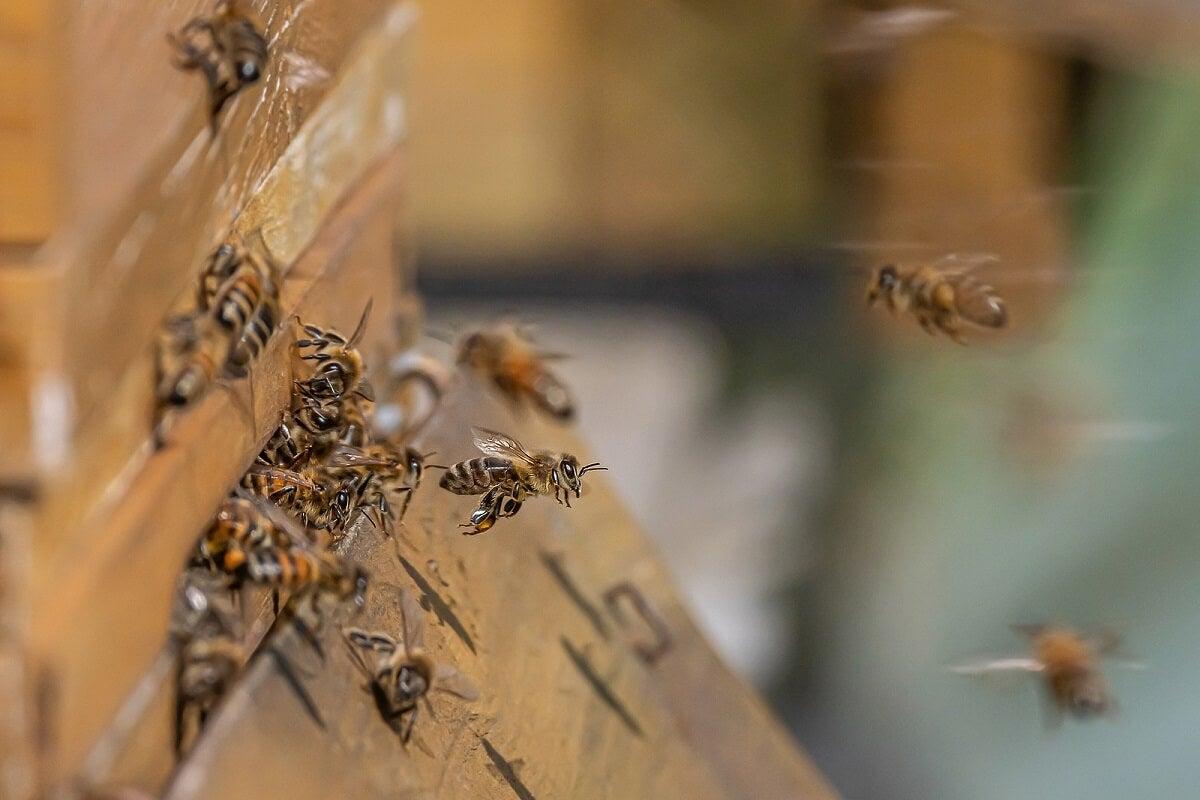¿Cómo es el veneno de la abeja?
