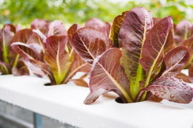 3 beneficios de la lechuga de hoja roja