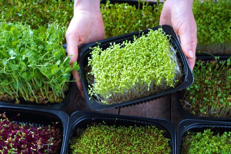 Qué son las microverdes y cómo cultivarlas en casa
