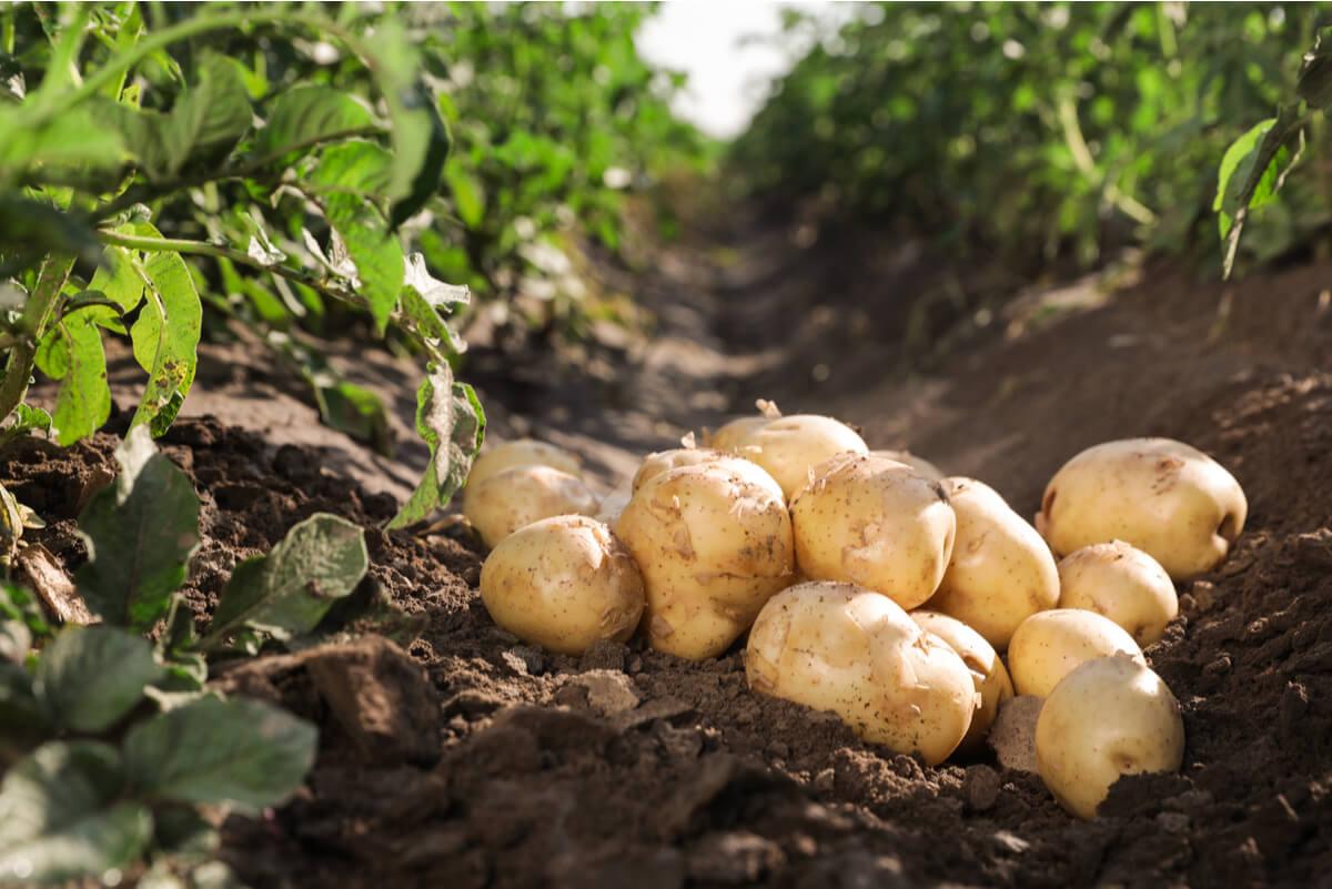 Cultivo de patatas en el campo.