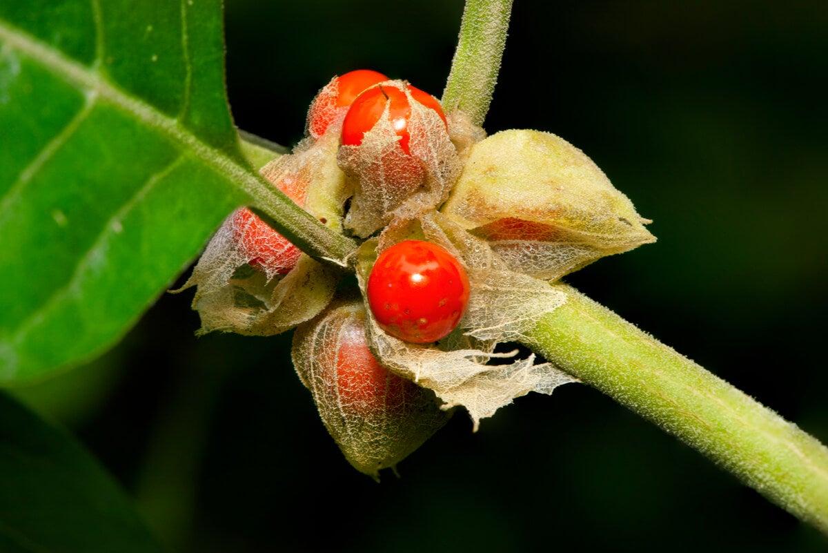 Planta de ashwagandha.