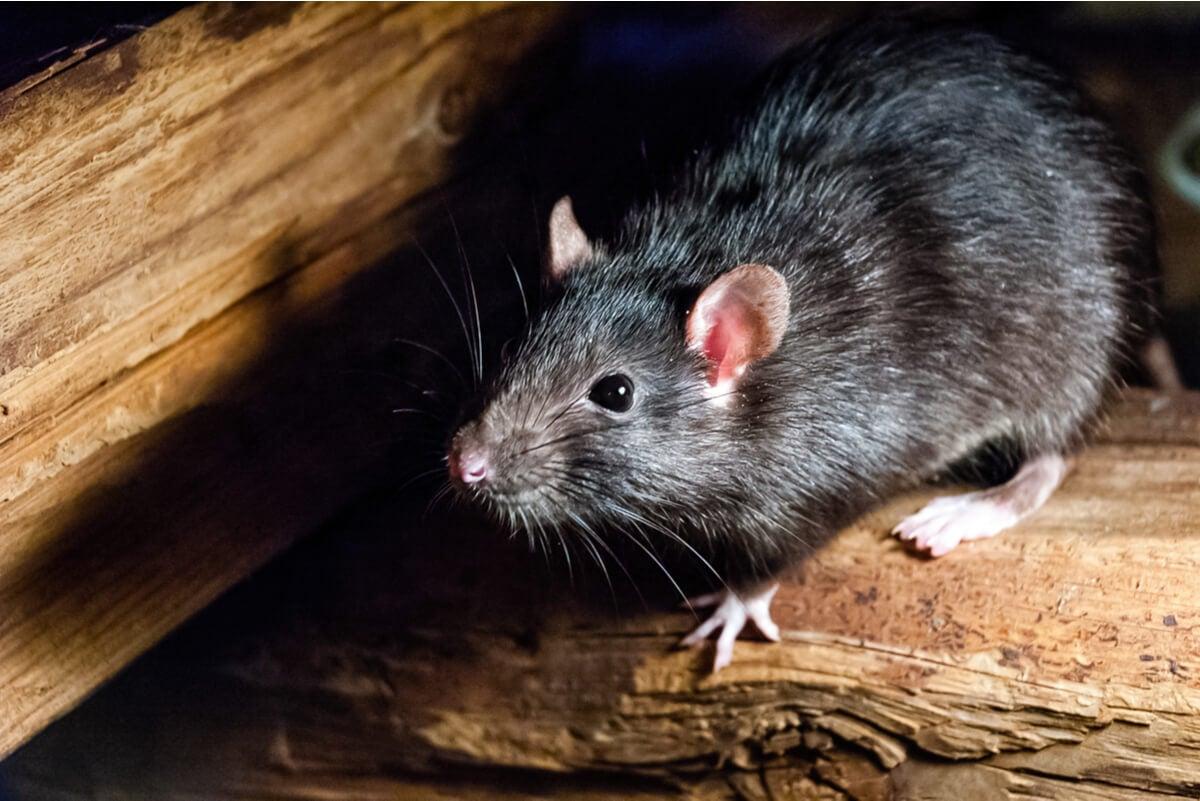 Rata que transmite enfermedades.