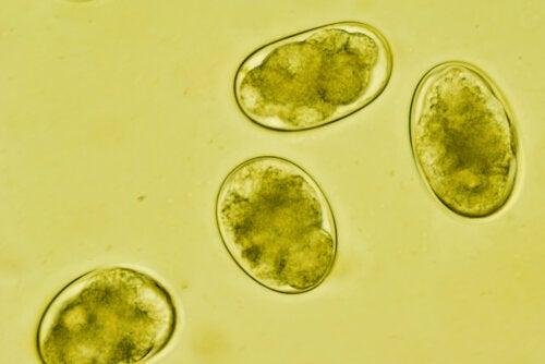 ¿Qué es la estrongiloidiasis y cómo se contagia?