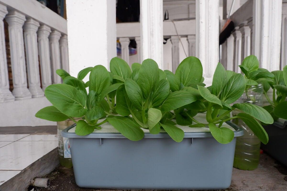Cultivo de hidroponía en un espacio pequeño.