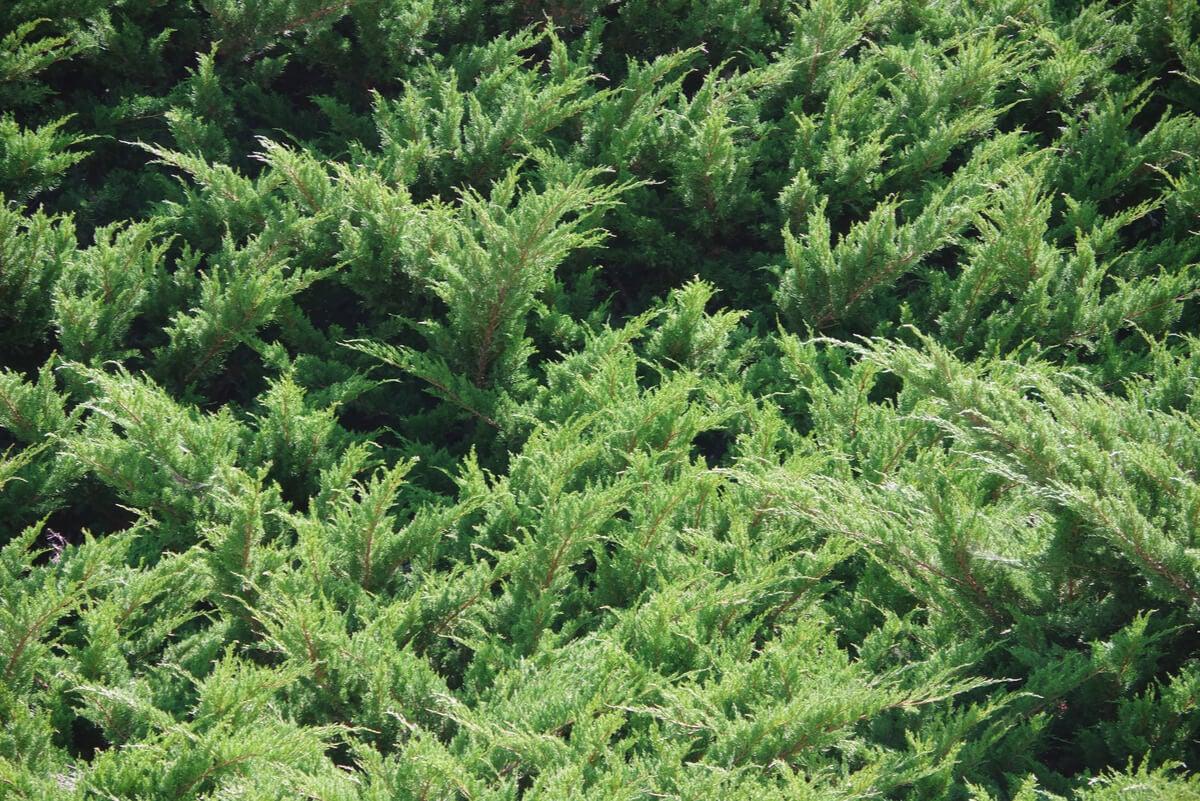Planta cobertora para mejorar suelo del jardín.