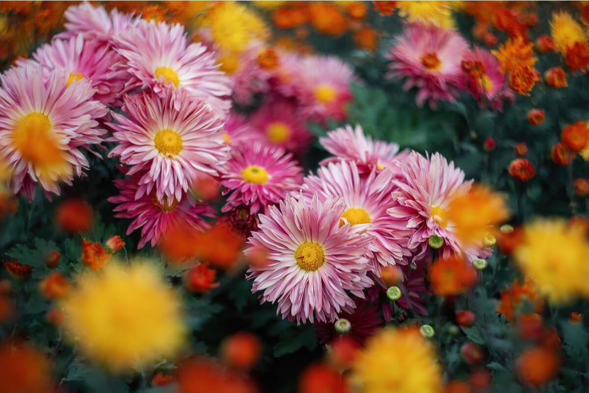 Flores de crisantemo para hacer té.