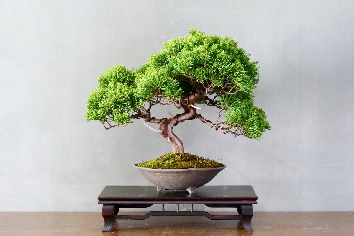 Árbol bonsái.