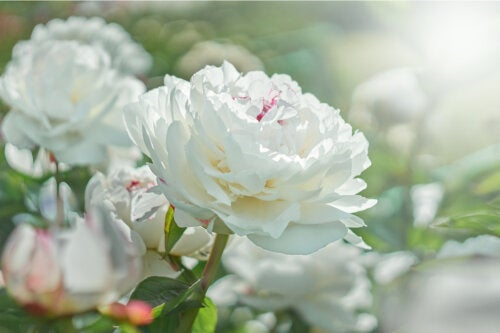5 flores blancas para decorar tu jardín