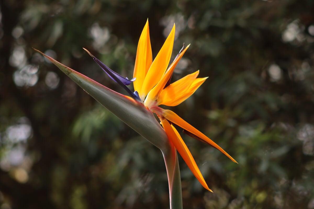 Flor de la planta ave del paraíso.