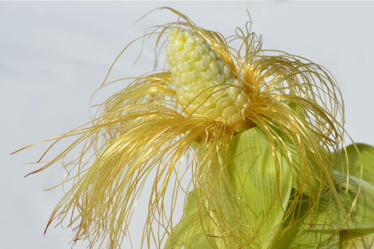 Barba de maíz.