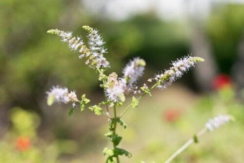 Cimicífuga: propiedades y contraindicaciones