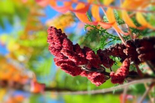 Hierba de carmín: propiedades, usos y contraindicaciones