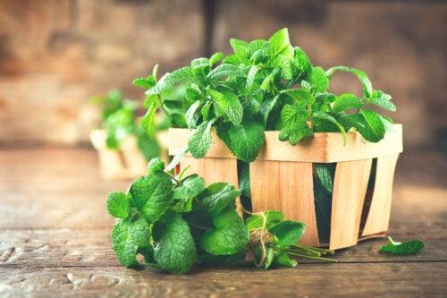 ¿Cómo sembrar hierbabuena en casa?