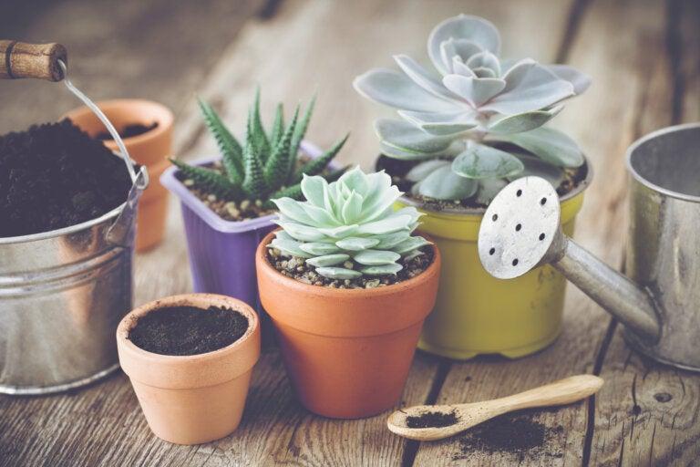 Cuidados para los cactus y suculentas en macetas