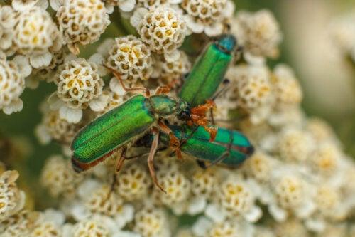 Gotas de mosca española: ¿afrodisíaco o veneno?