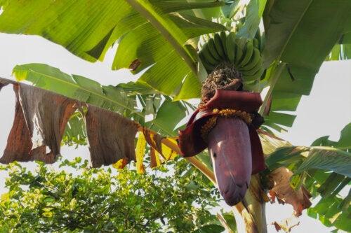 Banana azul de Java: características, origen y nutrientes