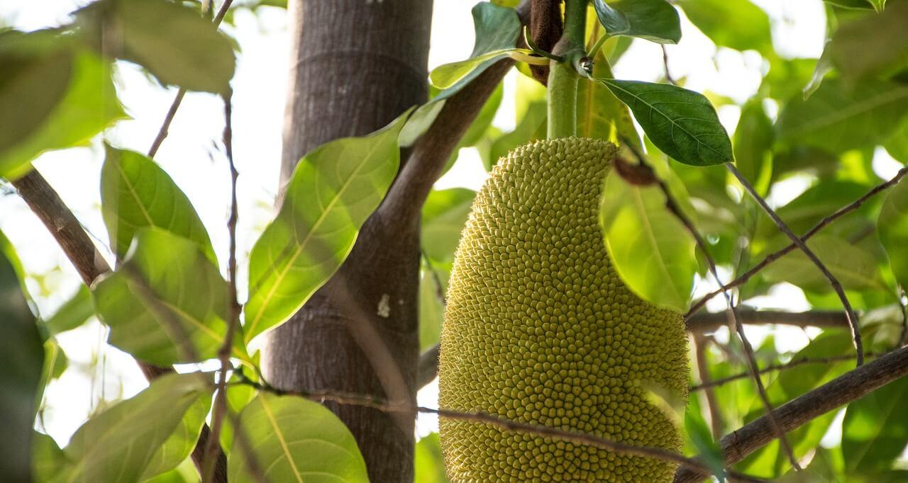 Jackfruit es tendencia en 2021.