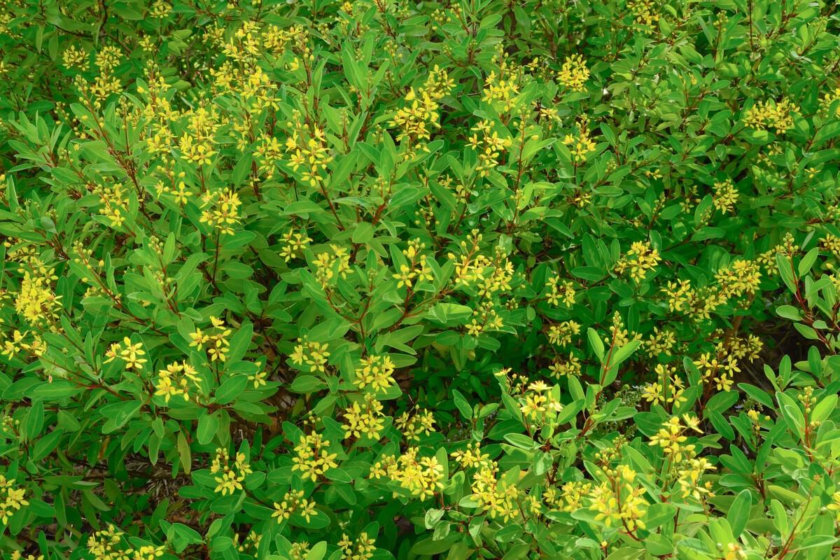 Planta calderona amarilla.