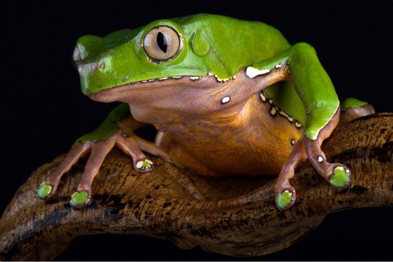 Efectos del kambó: veneno de rana usado en la salud