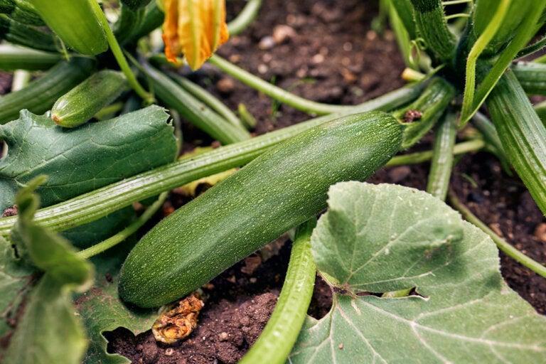 ¿Cómo sembrar y cuidar calabacín?