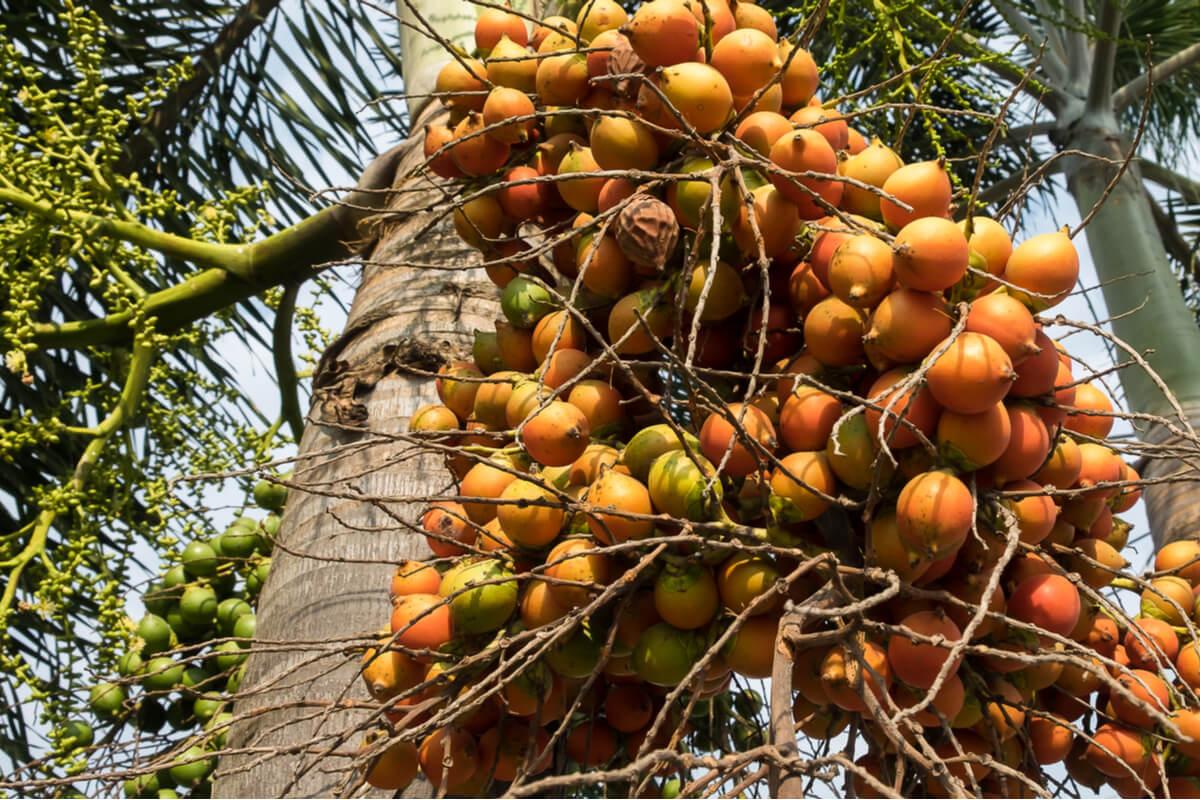 Chontaduro en la planta de palmera.