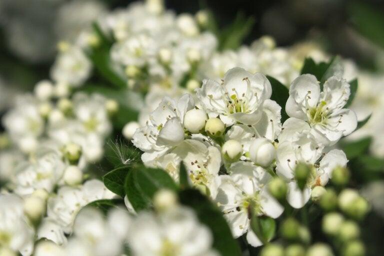 Espino blanco: usos, beneficios y riesgos