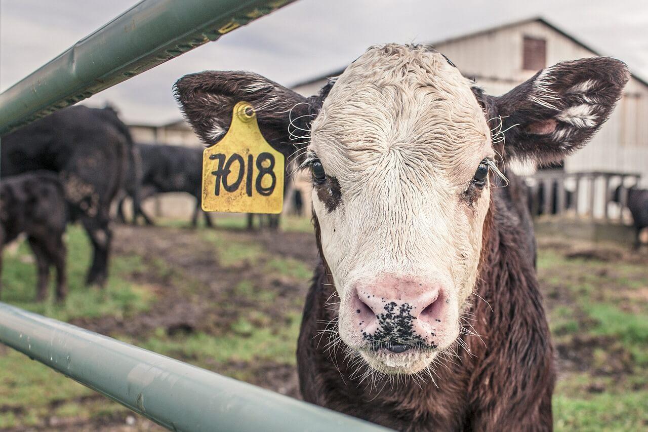 Vacas de producción de carne.