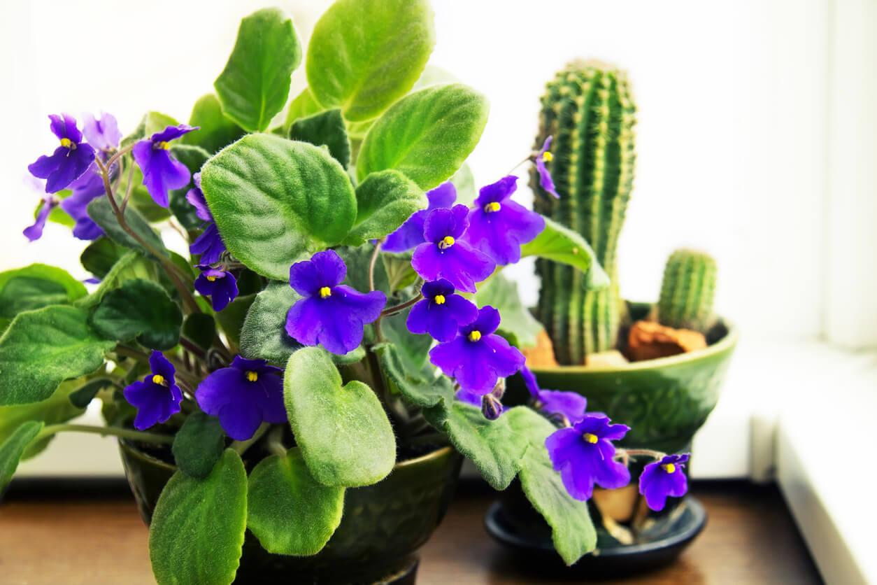Flores de violeta africana.