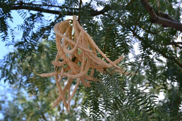 Propiedades y usos del árbol de mezquite